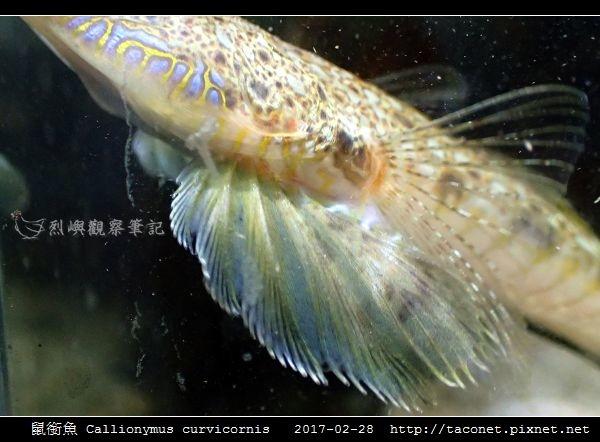 鼠銜魚 Callionymus curvicornis_6.jpg