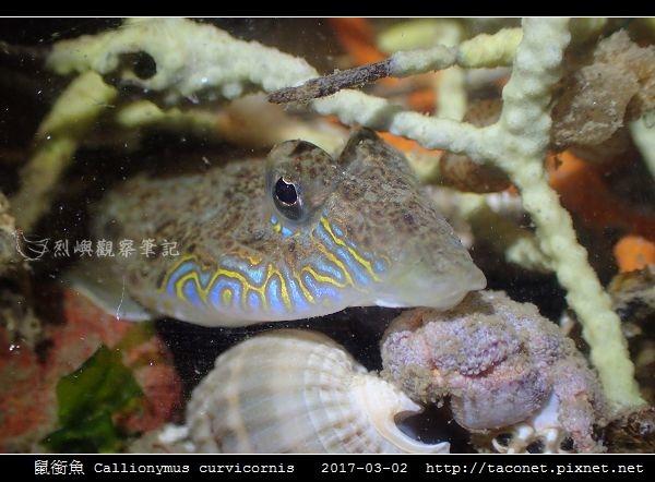 鼠銜魚 Callionymus curvicornis_7.jpg