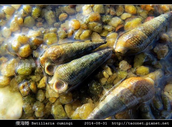 瘦海蜷 Batillaria cumingi_1.jpg