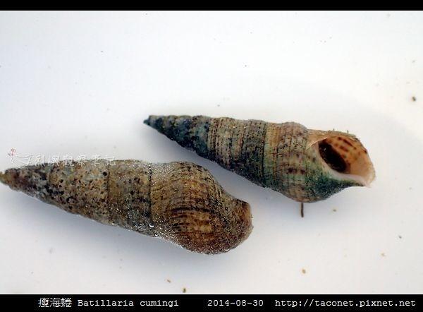 瘦海蜷 Batillaria cumingi_4.jpg