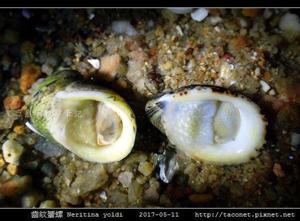 齒紋蜑螺 Neritina yoldi_01.jpg