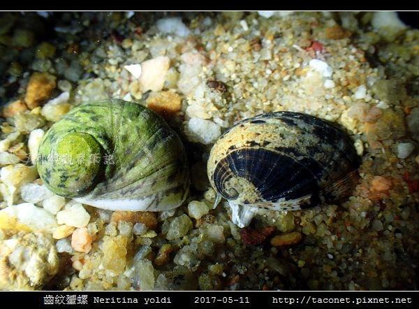 齒紋蜑螺 Neritina yoldi_02.jpg