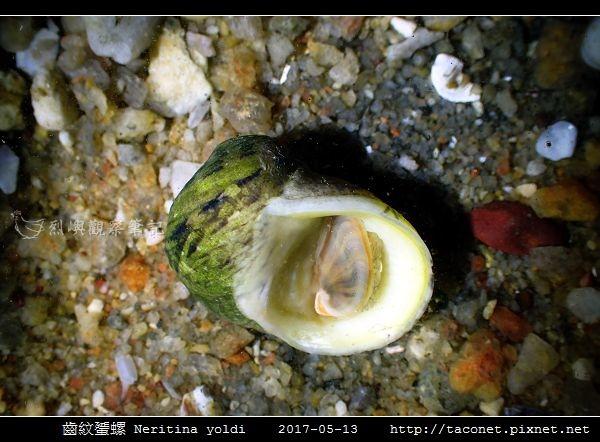 齒紋蜑螺 Neritina yoldi_03.jpg