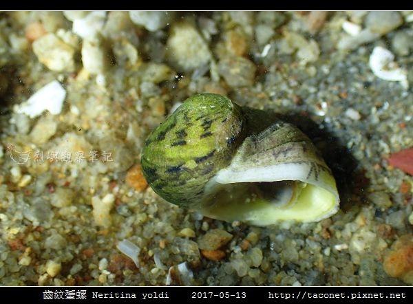 齒紋蜑螺 Neritina yoldi_04.jpg