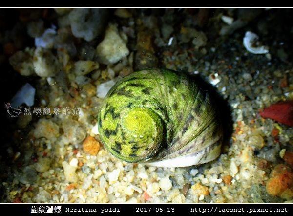 齒紋蜑螺 Neritina yoldi_05.jpg