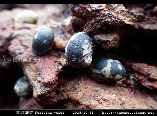 齒紋蜑螺 Neritina yoldi_07.jpg