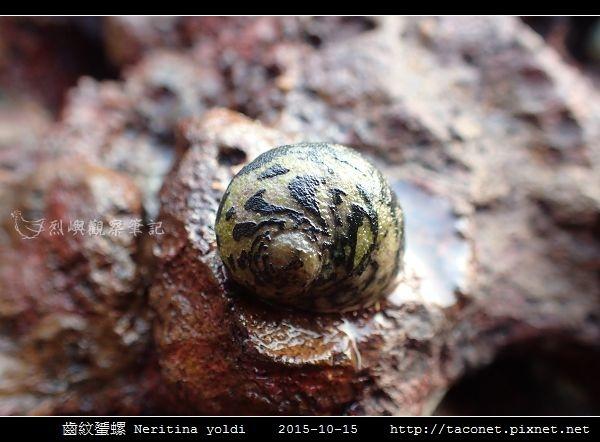 齒紋蜑螺 Neritina yoldi_08.jpg