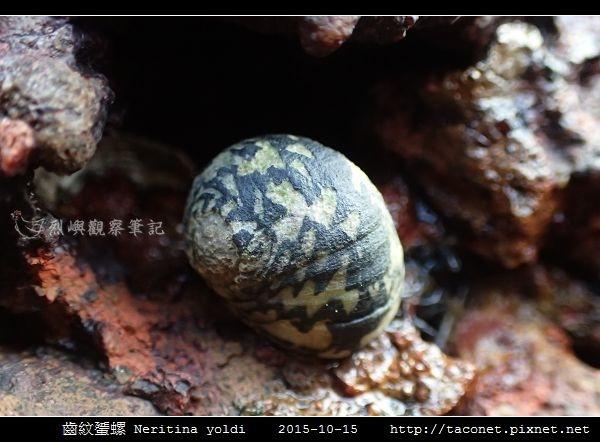 齒紋蜑螺 Neritina yoldi_10.jpg