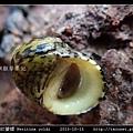 齒紋蜑螺 Neritina yoldi_09.jpg