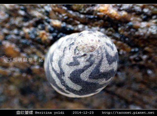 齒紋蜑螺 Neritina yoldi_11.jpg