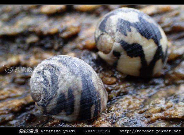 齒紋蜑螺 Neritina yoldi_12.jpg