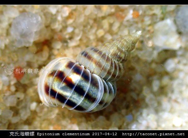 克氏海螄螺 Epitonium clementinum_2.jpg