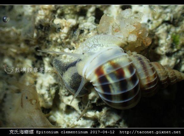 克氏海螄螺 Epitonium clementinum_5.jpg