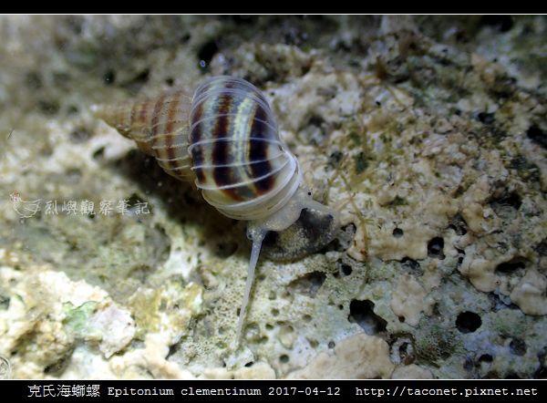克氏海螄螺 Epitonium clementinum_6.jpg