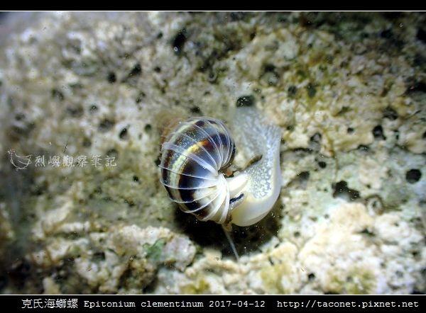 克氏海螄螺 Epitonium clementinum_7.jpg