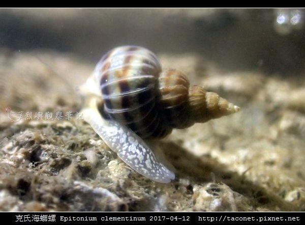 克氏海螄螺 Epitonium clementinum_8.jpg