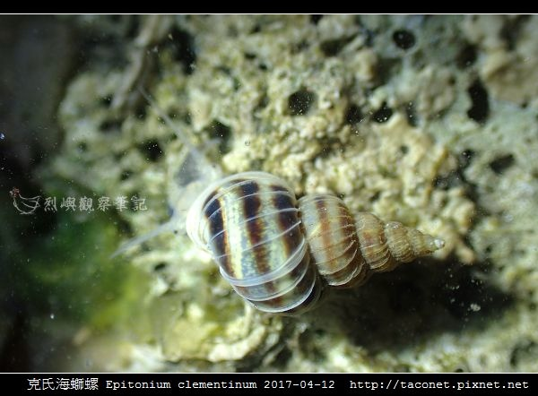 克氏海螄螺 Epitonium clementinum_9.jpg