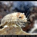 日本尾突水蝨 Cymodoce japonica_5.jpg