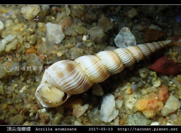 頂尖海螄螺 Acrilla acuminate_4.jpg