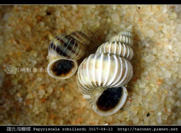 羅氏海螄螺 Papyriscala robillardi_03.jpg