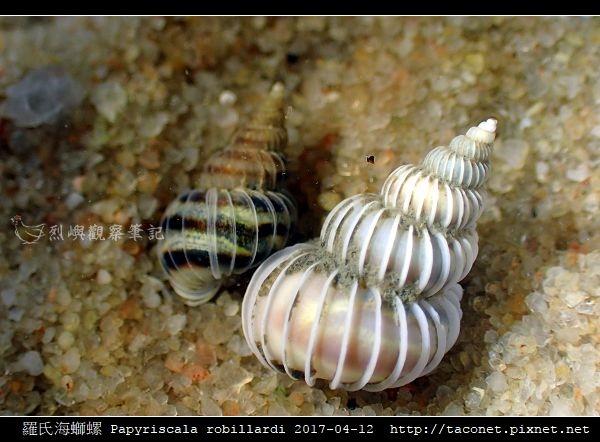 羅氏海螄螺 Papyriscala robillardi_04.jpg