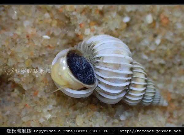 羅氏海螄螺 Papyriscala robillardi_06.jpg
