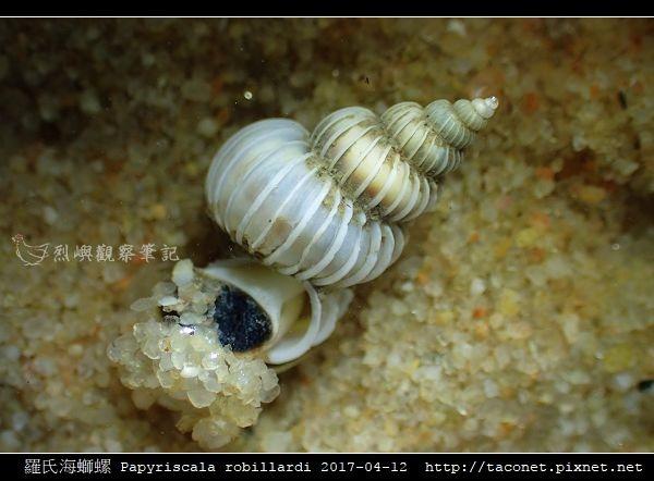 羅氏海螄螺 Papyriscala robillardi_05.jpg
