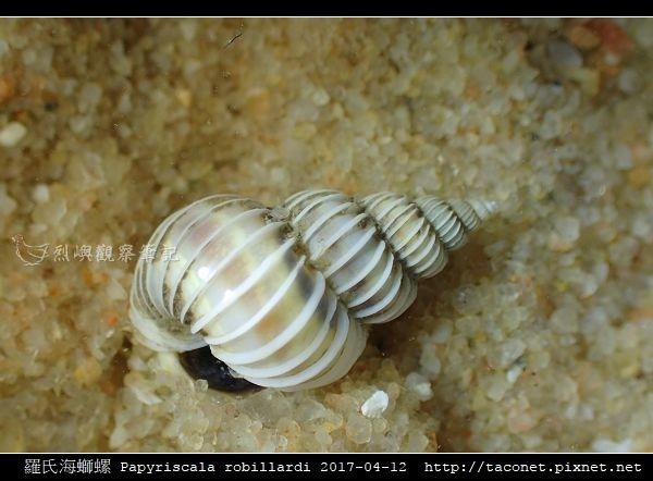 羅氏海螄螺 Papyriscala robillardi_07.jpg