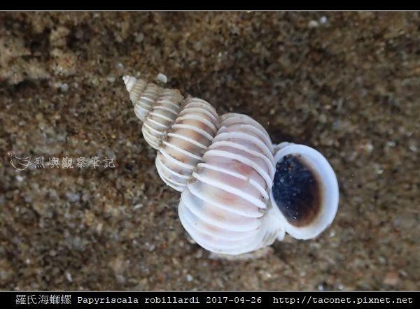 羅氏海螄螺 Papyriscala robillardi_08.jpg