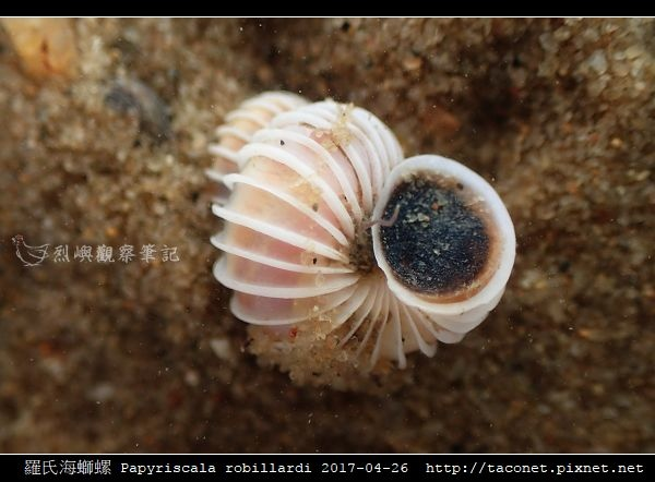 羅氏海螄螺 Papyriscala robillardi_10.jpg