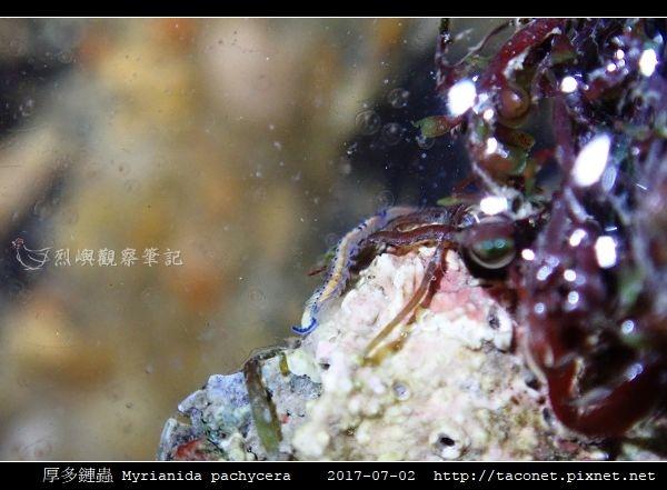 厚多鏈蟲 Myrianida pachycera_2.jpg