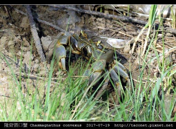 隆背張口蟹 Chasmagnathus convexus_03.jpg