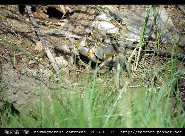 隆背張口蟹 Chasmagnathus convexus_02.jpg