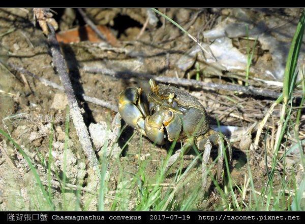 隆背張口蟹 Chasmagnathus convexus_05.jpg