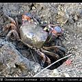 隆背張口蟹 Chasmagnathus convexus_07.jpg