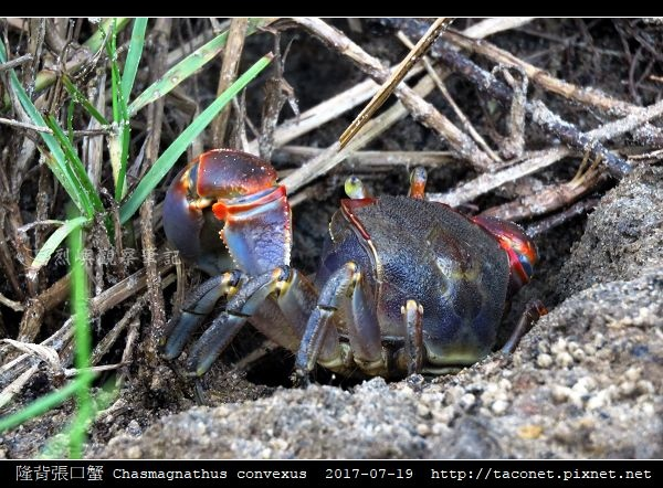 隆背張口蟹 Chasmagnathus convexus_09.jpg