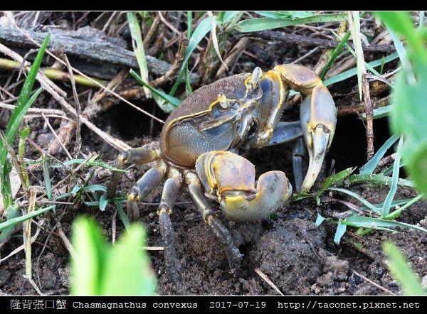 隆背張口蟹 Chasmagnathus convexus_10.jpg
