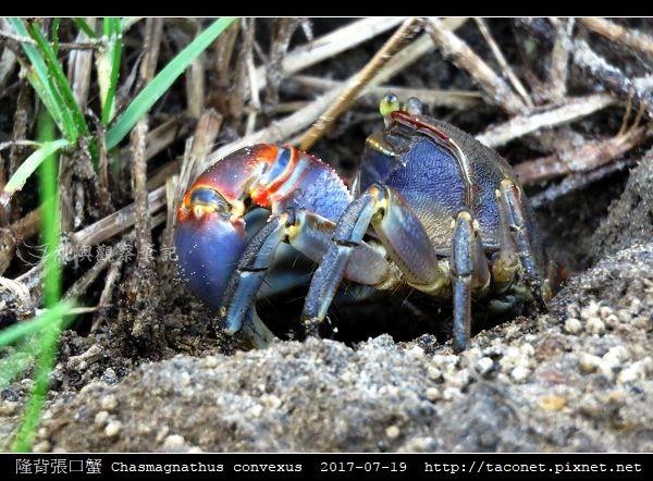 隆背張口蟹 Chasmagnathus convexus_11.jpg