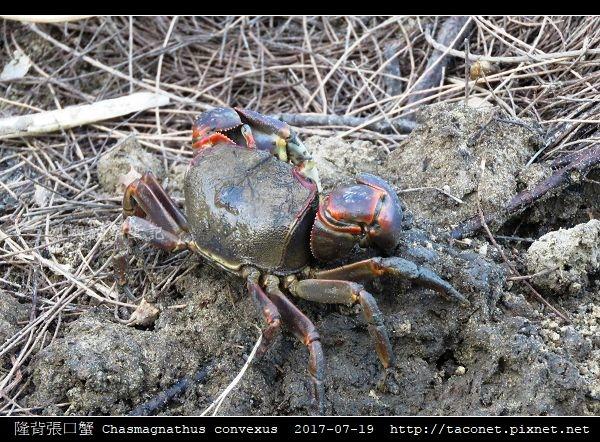 隆背張口蟹 Chasmagnathus convexus_14.jpg
