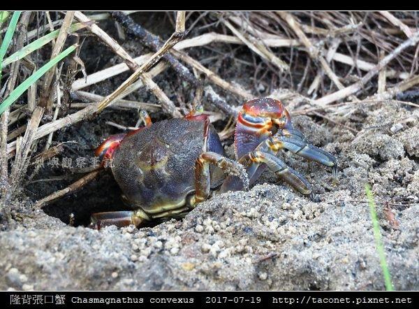 隆背張口蟹 Chasmagnathus convexus_13.jpg