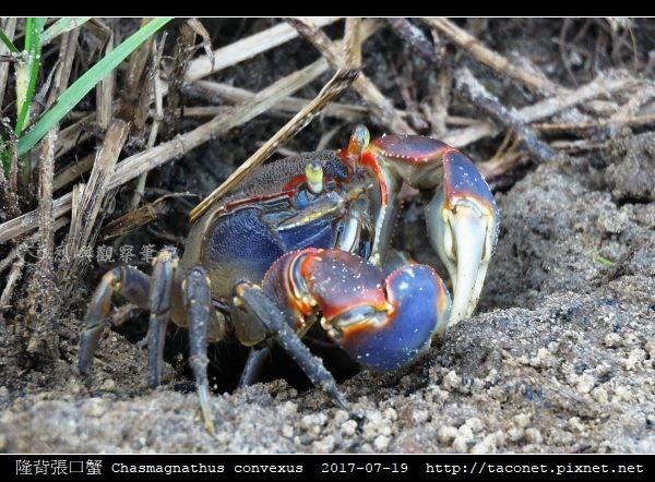 隆背張口蟹 Chasmagnathus convexus_15.jpg