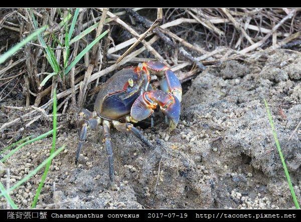 隆背張口蟹 Chasmagnathus convexus_16.jpg