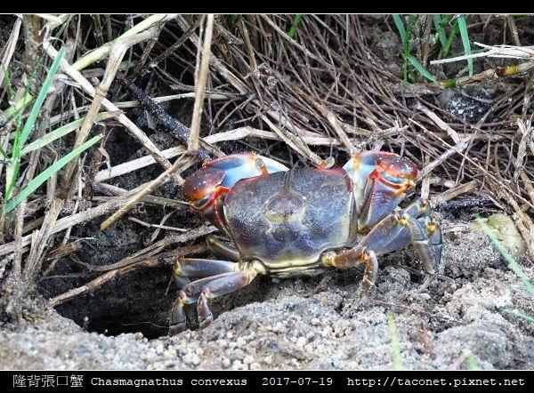 隆背張口蟹 Chasmagnathus convexus_17.jpg
