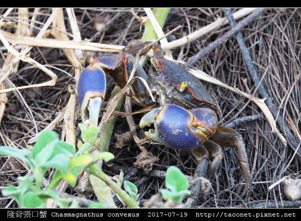 隆背張口蟹 Chasmagnathus convexus_18.jpg