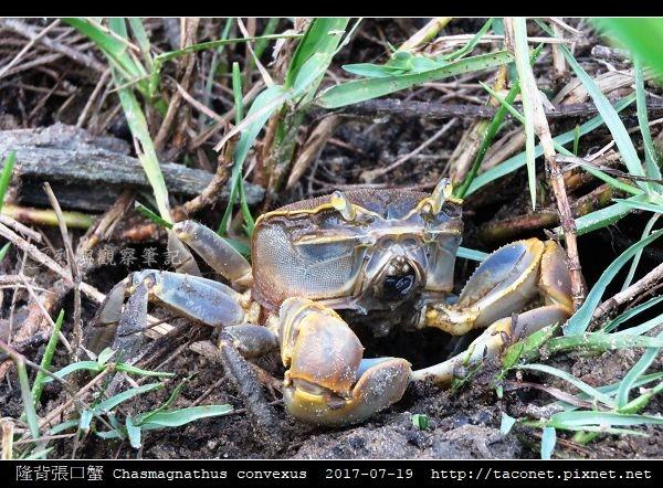 隆背張口蟹 Chasmagnathus convexus_20.jpg