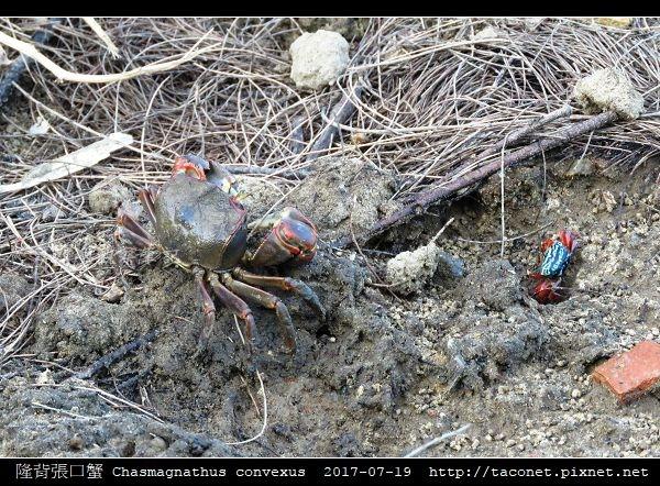隆背張口蟹 Chasmagnathus convexus_19.jpg
