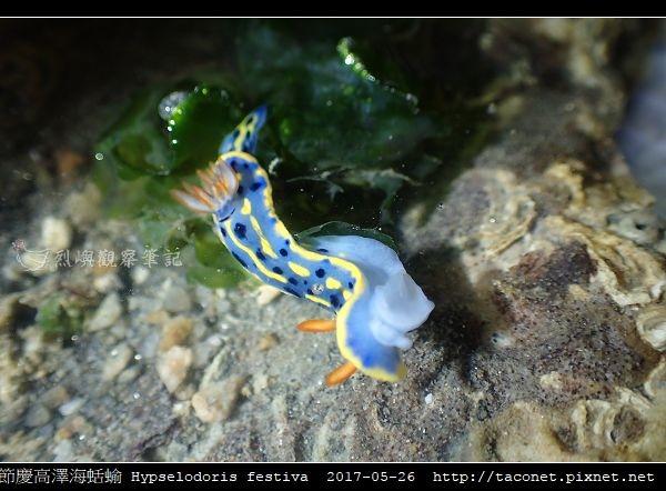 節慶高澤海蛞蝓 Hypselodoris festiva_01.jpg