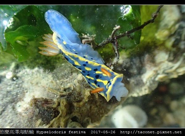 節慶高澤海蛞蝓 Hypselodoris festiva_03.jpg