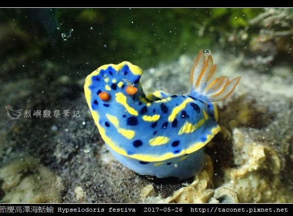 節慶高澤海蛞蝓 Hypselodoris festiva_06.jpg