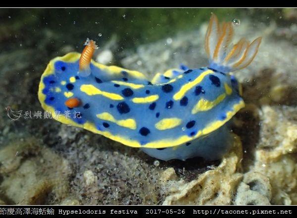 節慶高澤海蛞蝓 Hypselodoris festiva_05.jpg